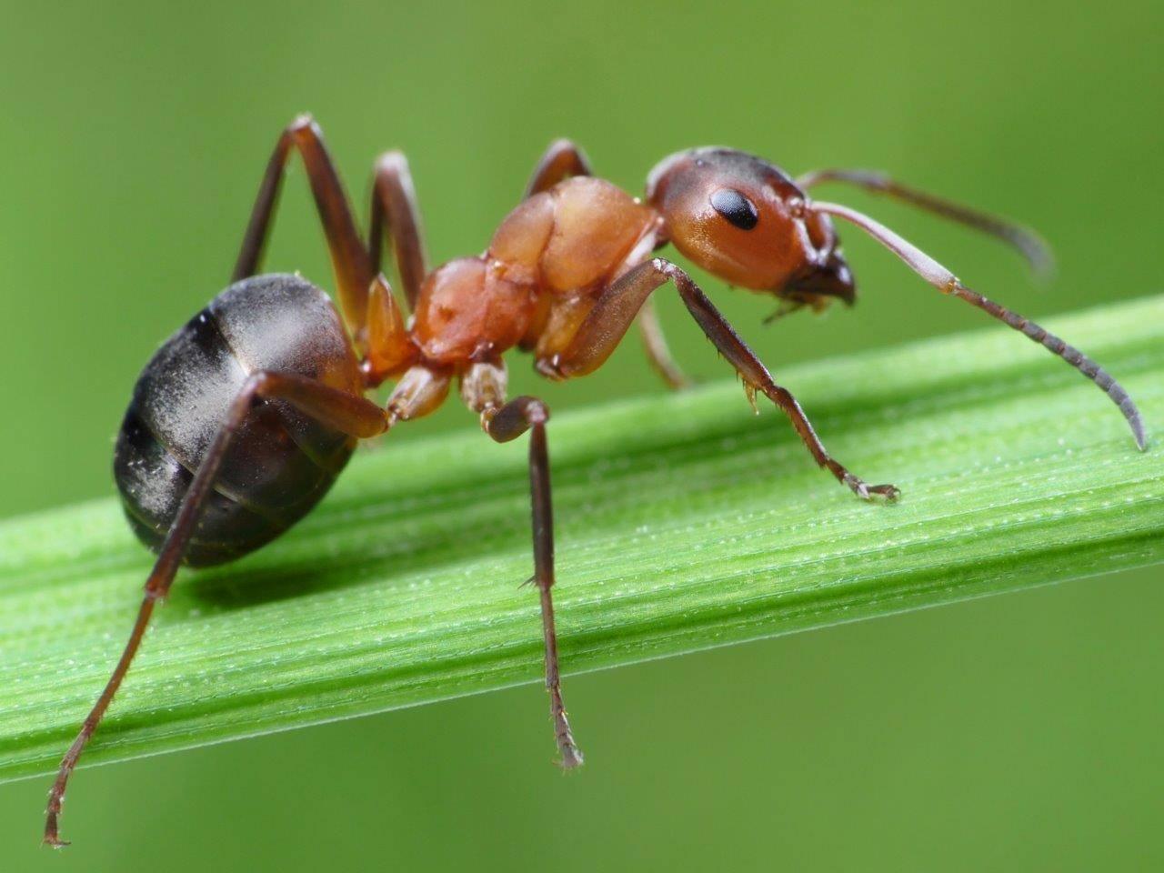 روغن مورچه