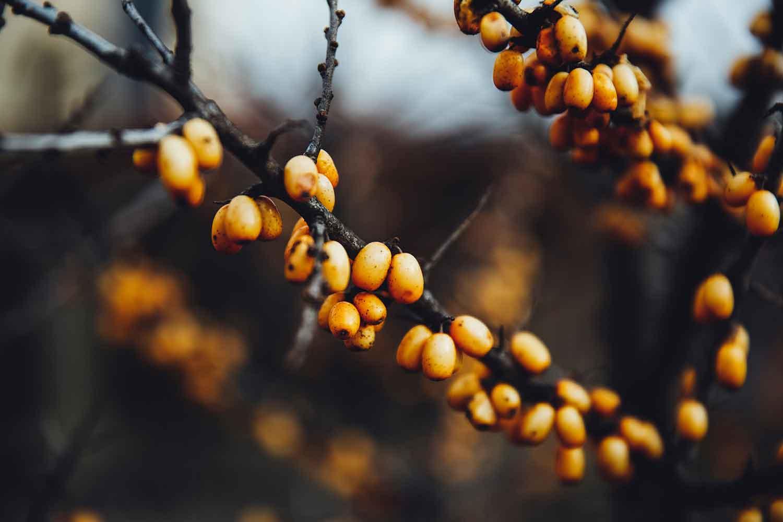فواید میوه سنجد و ارزش غذایی بالای آن